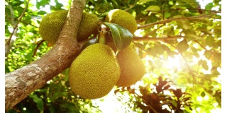 Jackfruit - Could This Fruit Possibly Help Ending World Hunger?